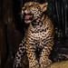 Jaguar Cub by Eve'sNature