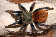 Tarantula: Greenbottle Blue - Chromatopelma cyaneopubescens