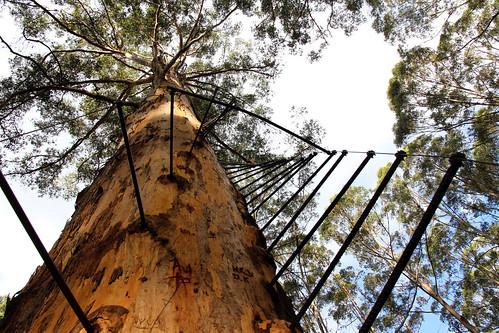Pemberton - Gloucester Tree - Looking Up The Rungs