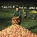 Ramassage des pommes en Normandie, en 1947