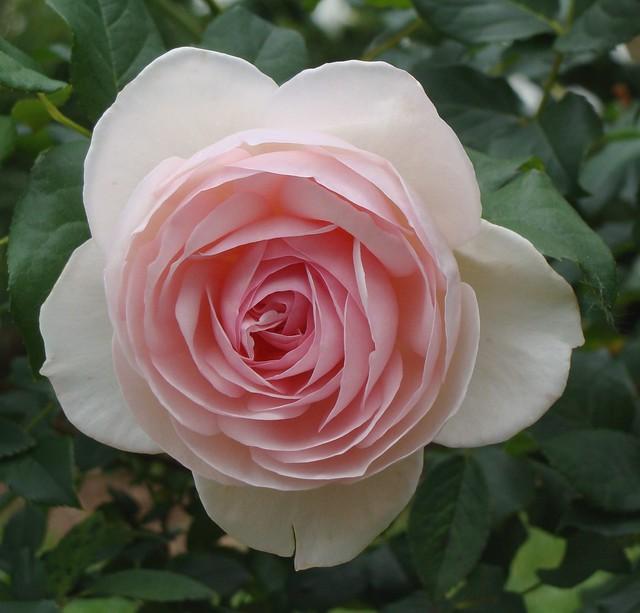 Shabby Rose
