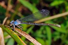Powdered Dancer, Blue form female, Argia moesta