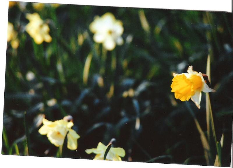 Daffodils10