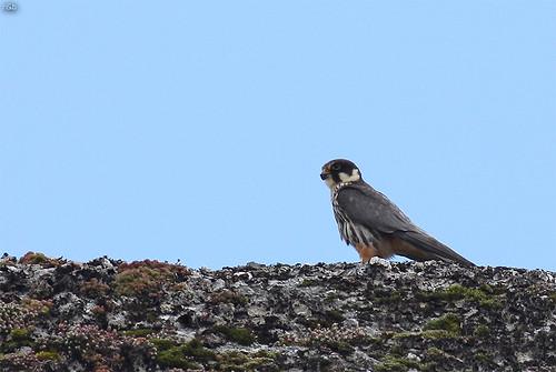 Ógea (Falco subbuteo)