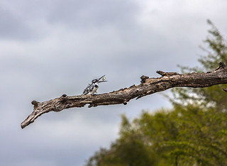 Pied Kingfisher swallowing his last catch, Kruger national park, South Africa