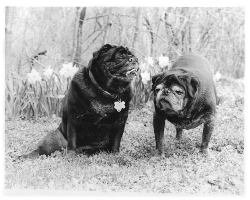 spring pugs