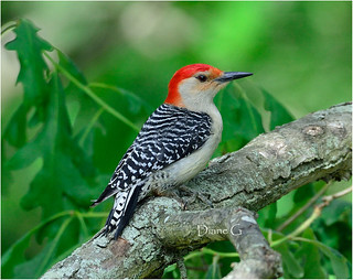 Red-bellied Woodpecker   18