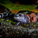 Marbled Salamander (Ambystoma opacum) - juvenile size and coloration