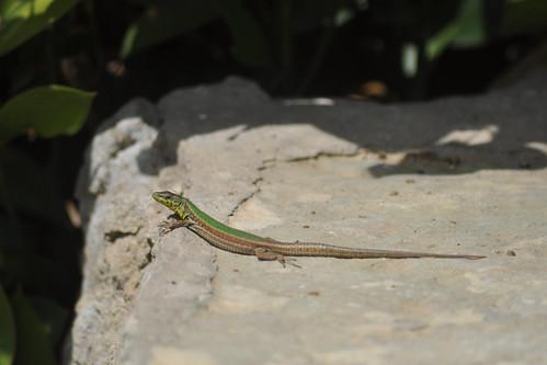 Lizard, Mdina/Rabat