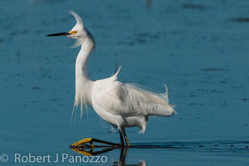 bird ngc npc sanibel sanibelisland egret snowyegret jndingdarlingnwr
