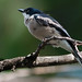 Bar winged Flycatcher Shrike # 77
