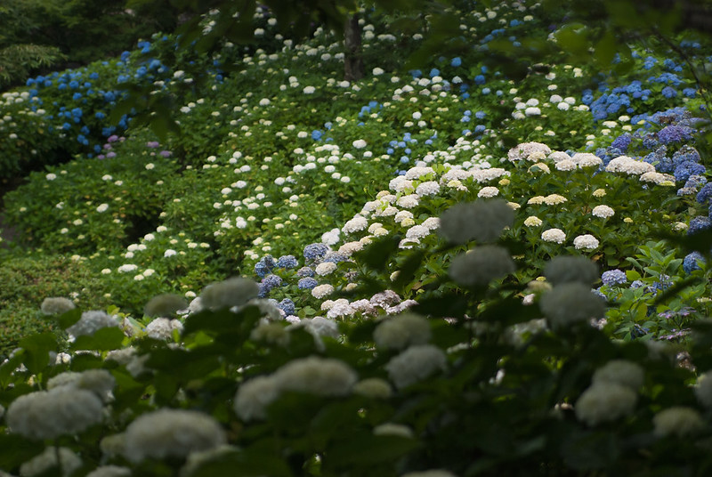 紫陽花hydrangea