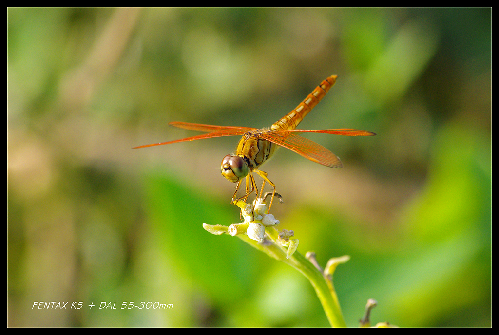 DAL 55-300之蜻蜓翅膀亮晶晶