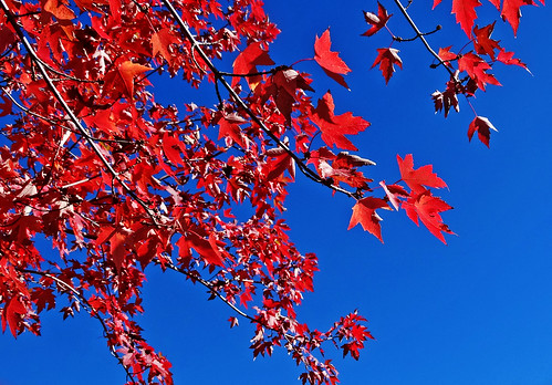 california autumn fallleaves usa fall apple scale landscapes bluesky redleaves appleorchard inlandempire turningleaves backlitleaves oakglenca snowlineorchard dgrahamphoto