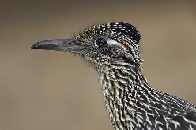 Greater Roadrunner, Canon EOS-1D X, Canon EF 600mm f/4L IS