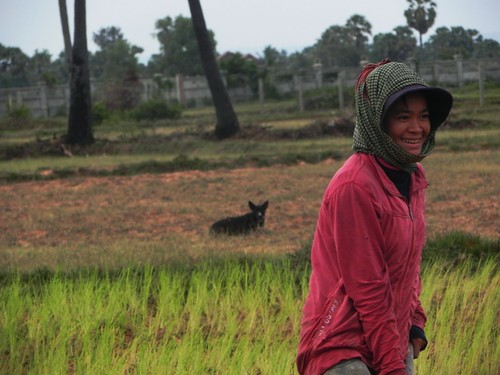 on the rice fields of Cambodia