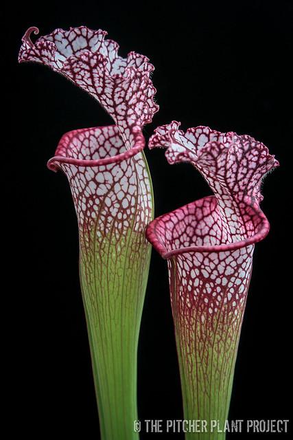 Sarracenia leucophylla, Franklin Co