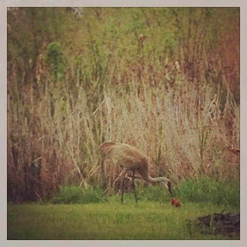 Sandhill crane feeding its baby. I really need to bring my camera up here to get better pics.  #lakejamesindiana