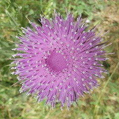 jasione montana(0.0), produce(0.0), silybum(0.0), annual plant(1.0), flower(1.0), thistle(1.0), plant(1.0), macro photography(1.0), wildflower(1.0), flora(1.0), petal(1.0),