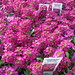 Small photo of Alyssum Wonderland Deep Rose