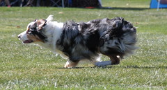collie(0.0), conformation show(0.0), border collie(1.0), dog breed(1.0), animal(1.0), dog(1.0), pet(1.0), miniature australian shepherd(1.0), australian shepherd(1.0), carnivoran(1.0),