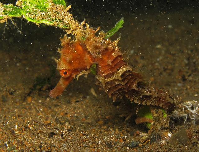 Thorny Seahorse at Secret Bay, Anilao