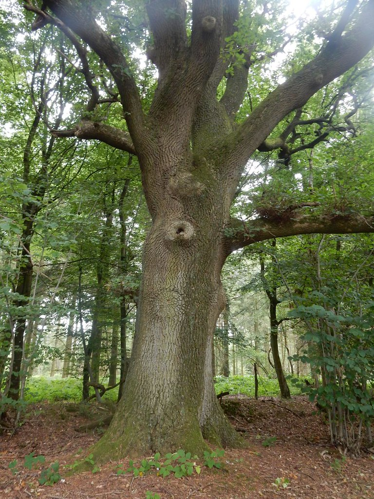 Big tree Guildford to Horsley