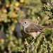 Small photo of Brown Thornbill (Acanthiza pusilla) fledgling