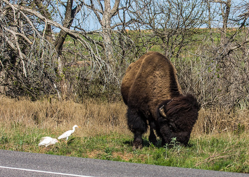 American Bison and Cattle Egret