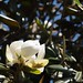 In the neighborhood…Magnolia grandiflora - 05