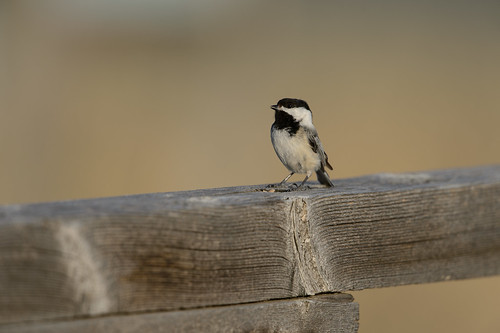 Singing Chickadee-40117.jpg