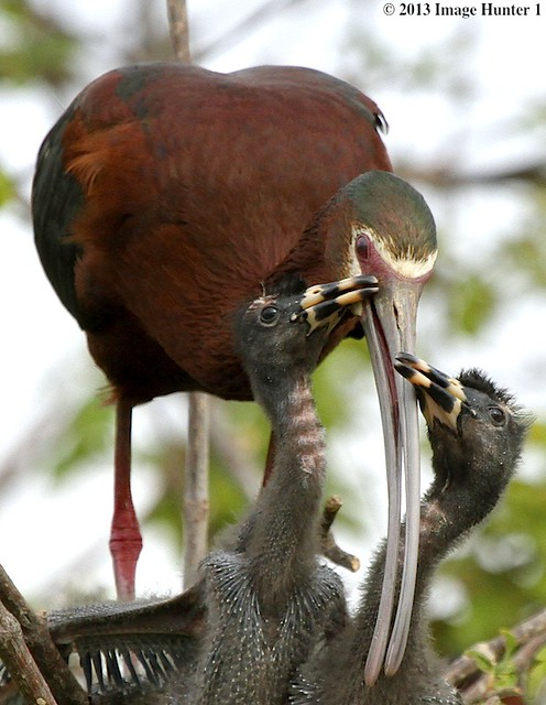 White-faced Ibis And Chicks - Miller's Lake, Louisiana