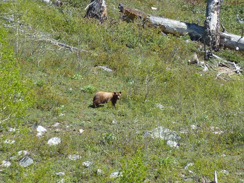 Subadult Grizzly Bear - Jenny Lake, Grand Tetons