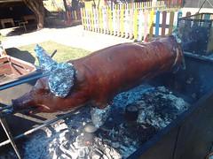 Porco no Rolete Campinas - Dant Show