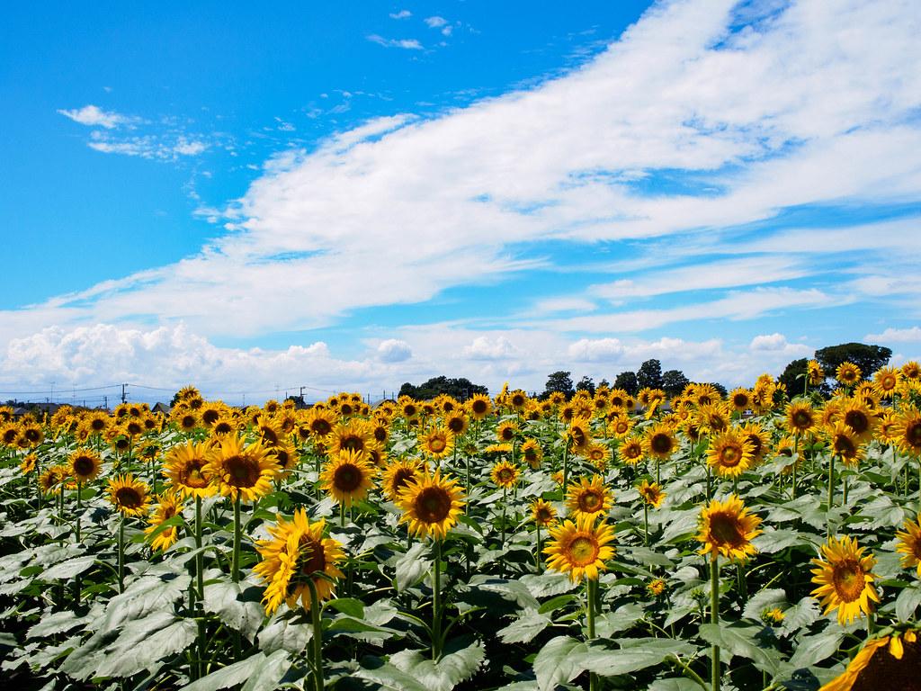 青空と向日葵畑