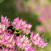 Bee on Sedum by Holly Kilpatrick