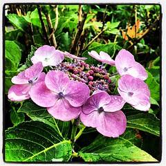floristry(0.0), annual plant(1.0), flower(1.0), hydrangea serrata(1.0), plant(1.0), lilac(1.0), flora(1.0), petal(1.0),
