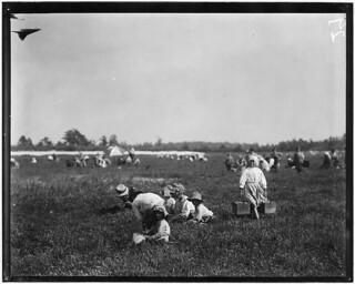 Teresa Lerre, 5 years old, Philadelphia, is a cranberry picker. The father and four children are picking, September 1910