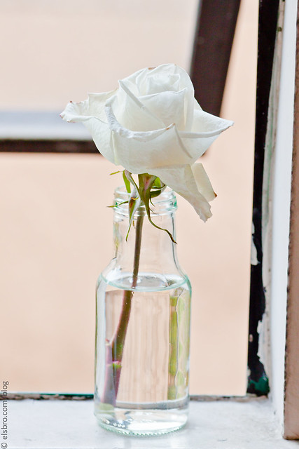 Rose on a Window Sill