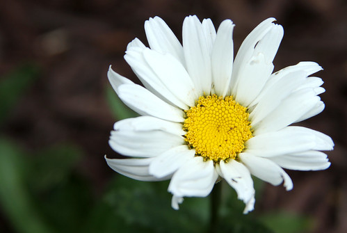 Daisy, Close up