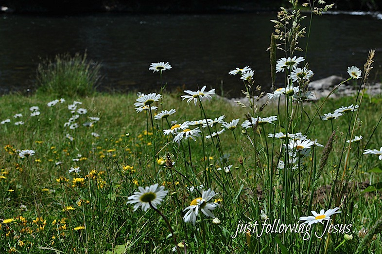 daisies by the river 2.jpg
