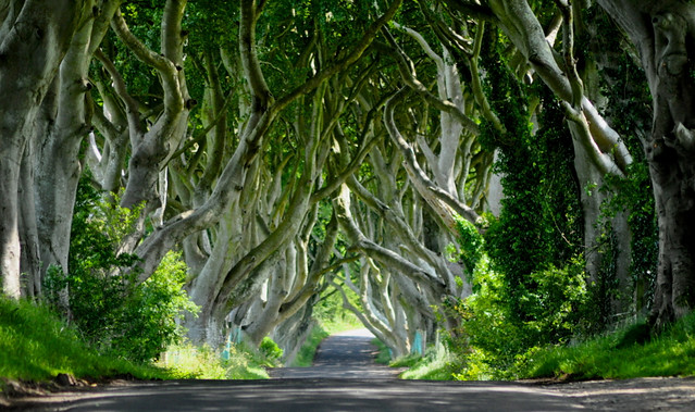 Dark Hedges, Game of Thrones film site by CC user horslips5 on Flickr