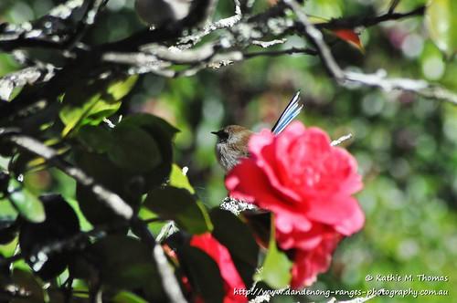 Superior Fairy-wren