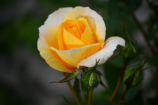 Yellow rose (On  rainy day part II)