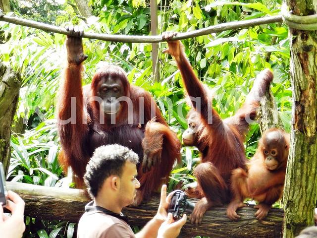 Singapore Zoo 02