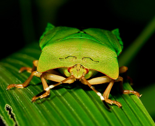 Giant Shield Bug (Asiarcha angulosa, Tessaratomidae)