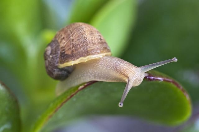 Garden Snail Macro