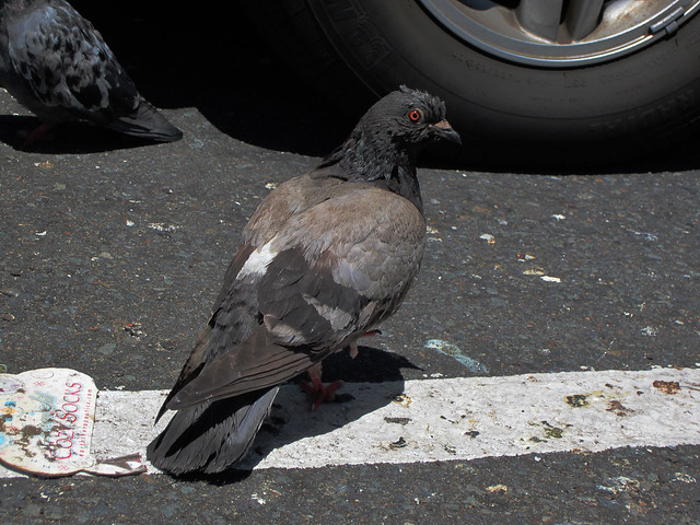 pigeons in Walgreens parking lot, 22nd and Irving; The Sunset, San Francisco (2012)