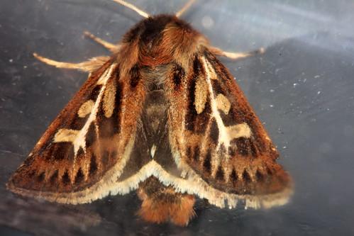 2176 Antler Moth 10276