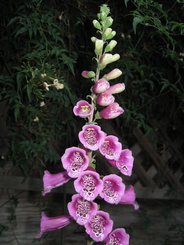 Foxglove purple